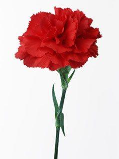 carnation_red