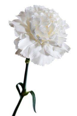 whitecarnation